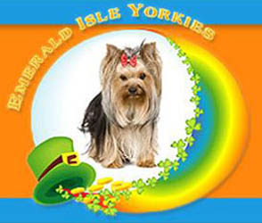 Emerald isle yorkies