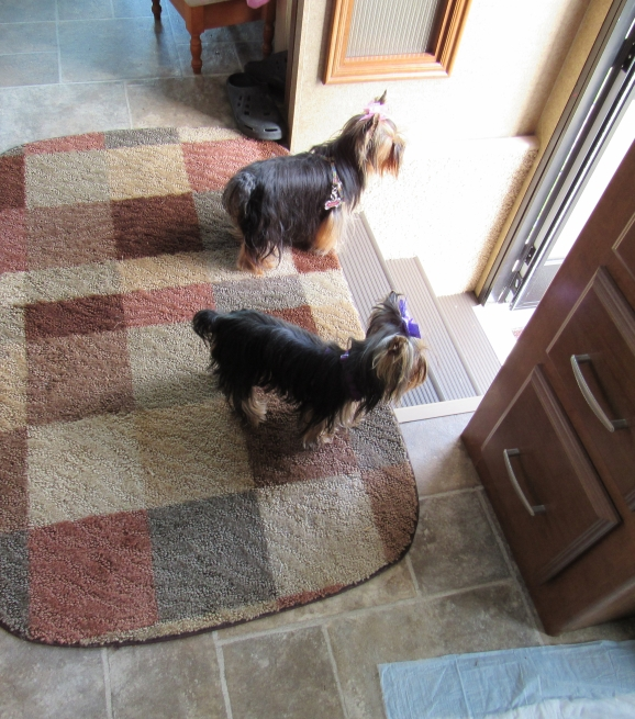 Teacup Yorkies For Adoption Toy Poodles For Sale Teacup Yorkie